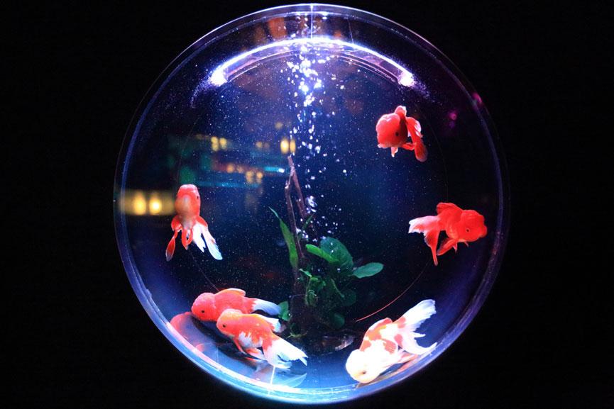 prevedibilità quotidiana pesce rosso